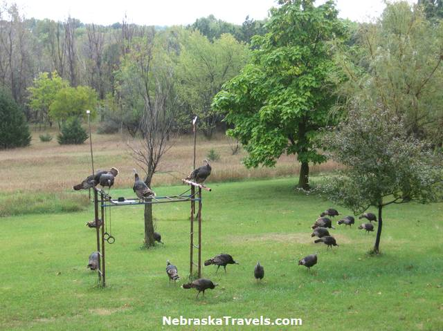 Wild Turkeys in back yard and perched on gym set