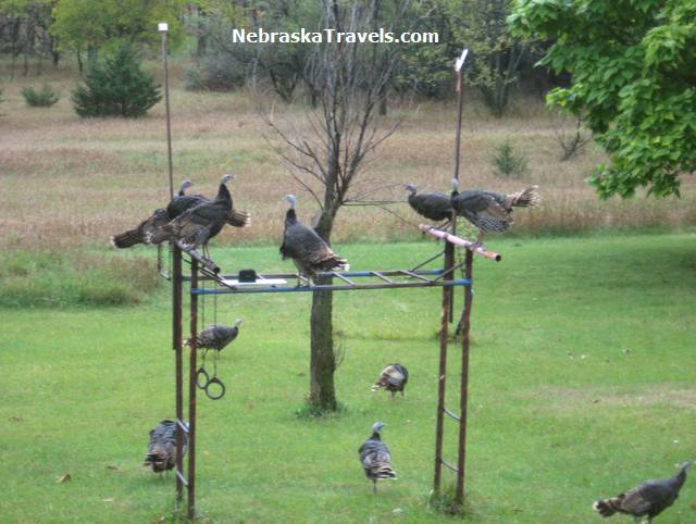 Wild Turkeys in back yard perched on gym set