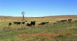 Western Nebraska Sandhills Grassland - Cattle by Wooden Windmill