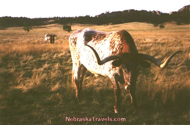 Nebraska Fort Robinson State Park - Longhorn Steer up close -  Ft Robinson Park