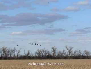 Sandhill Cranes flying over cornfield near Platte River during migration - Nebraska