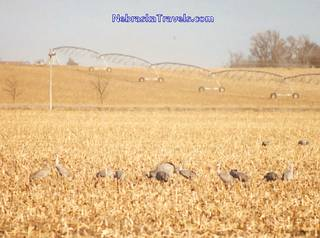 Sand hills cranes feeding in cornfield - with center pivot irrigation system in background.
