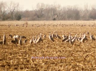 Sandhill Cranes feeding in a cornfield near the Platt River in Nebraska