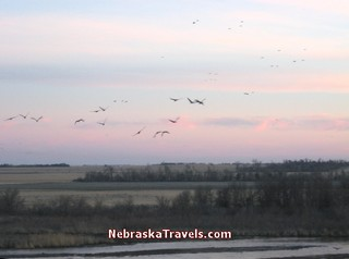 Sandhill Cranes Migration - In Sky over Platte River at Sunset