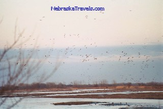 Sandhill Cranes Migration - flying in for roosting at Sunset on the Platt River - near, Grand Island, NE