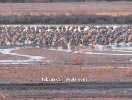 Sandhill Cranes still roosting on Platte River after sunrise before flying to nearby fields to feed