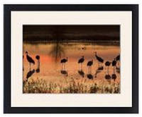 Sandhill Cranes framed prints - Wide Selection Available